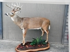 Whitetail Taxidermy